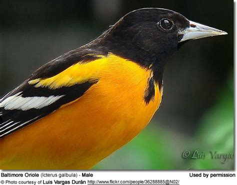baltimore orioles aka northern oriole or bullock s orioles