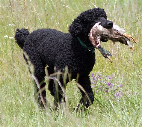 how to a poodle how to neuter poodle new ssl vulnerability secplicity security simplified