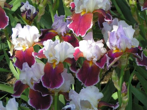 iris flower colors iris flowers colors coloring pages