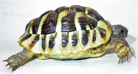 alimentazione testudo hermanni l alimentazione delle tartarughe terrestri aae onlus