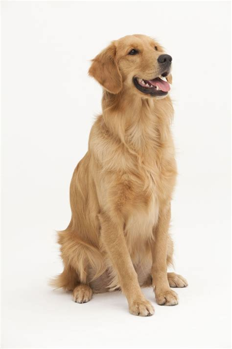 golden retriever obedience 1000 ideas about golden retriever on