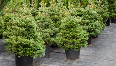 diy weihnachtsb 228 ume im eigenen garten anpflanzen