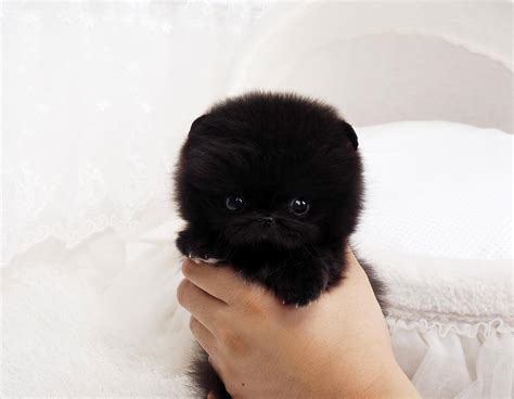 black micro teacup pomeranian tiny black teacup pomeranian puppies my fluffy black pomeranian puppy puppies