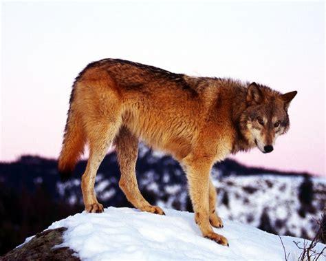 big brown brown wolf www pixshark images galleries with a bite