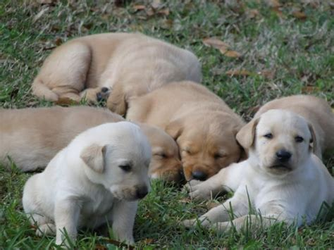 puppies for adoption in illinois labrador puppies for sale for sale adoption from