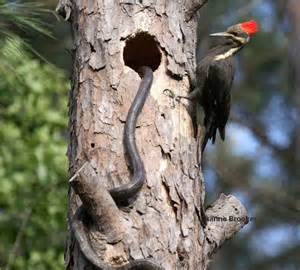 Backyard Birds Of Virginia Woodpecker Saves Young Birds And Blooms