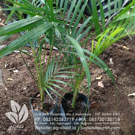 Bibit Buah Pinang jual bibit pinang kuning asal biji 80 cm agro bibit id