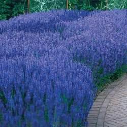 blue queen salvia sun perennial flowers sun loving