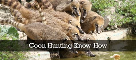 how to a to coon hunt the best states for coon coon club