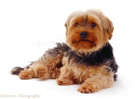 how to a yorkie puppy to outside beautiful terrier outside