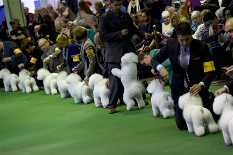 ny puppy club 140th westminster show begins