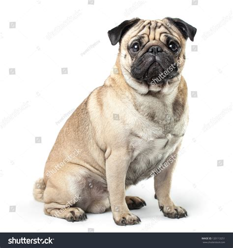 pug shadow sitting pug isolated on white background with soft shadow stock photo 120113251