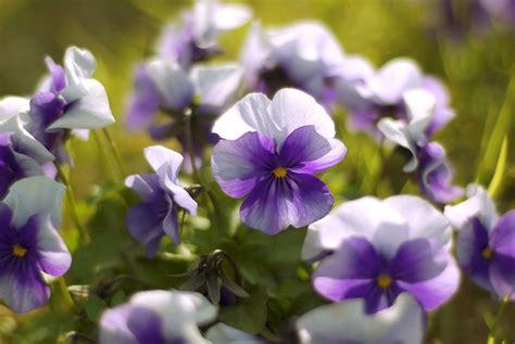 The Flower violets