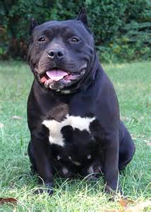 Black Pit Pitbull Lab Mix Picture Breeds Picture
