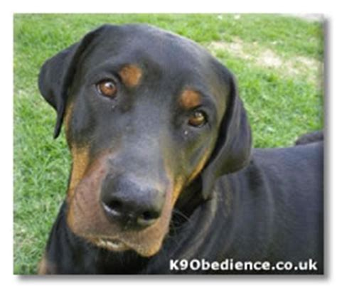 rottweiler and doberman cross turbo the rottweiler gsd american staffie dobie cross free your dogs webpage