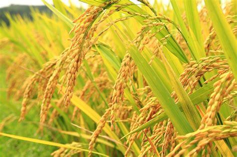 cara membuat zpt tanaman padi jika padi mengalami mutasi dari radiasi nuklir nextgen