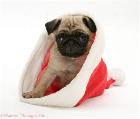 santa pug pug pup in santa hat photo wp11655