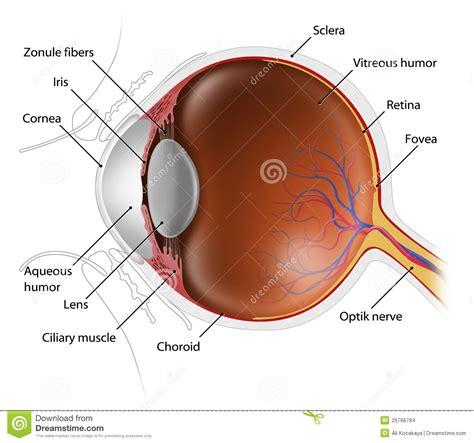 cross section of eyeball human eyeball stock images image 29786784
