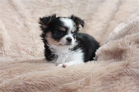 puppies in pennsylvania mini teacup chihuahua puppies sale breeds picture