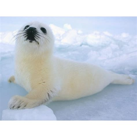 Schleich Seal seal cub schleich 14703 from who what why