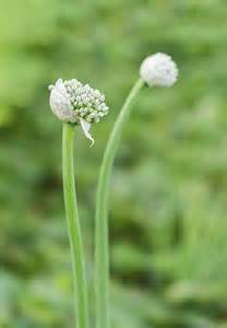 plants blooming do garlic plants bloom learn about garlic plant flowering