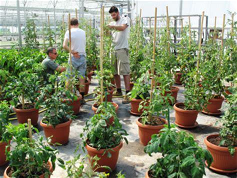 seminare pomodori in vaso l orto in vaso speciale