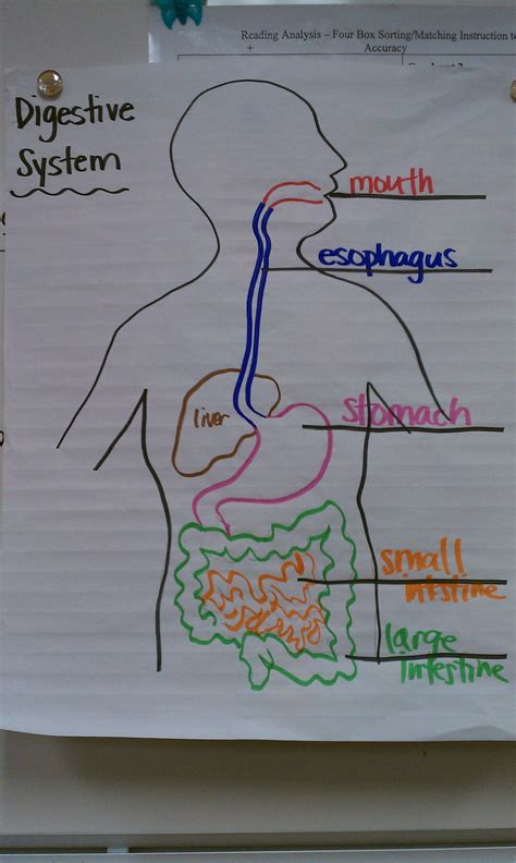 system drawing color digestive system drawing color coding 5th grade