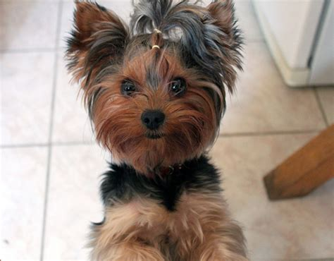 yorkie puppy facts information about yorkie dogs