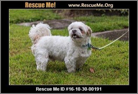 havanese rescue fl florida havanese rescue adoptions rescueme org