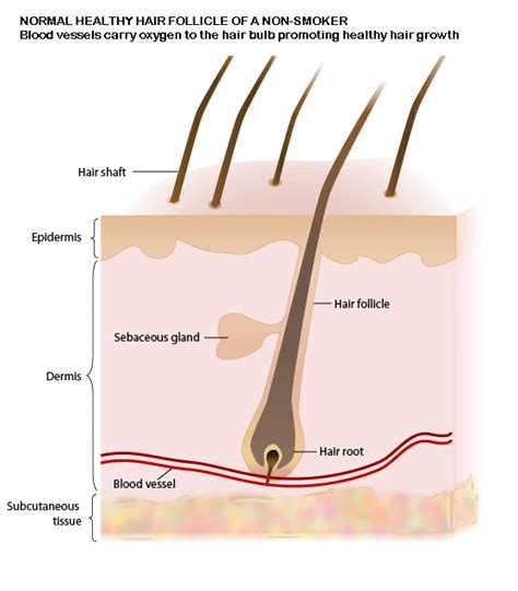 hair diagram image gallery hair strand diagram