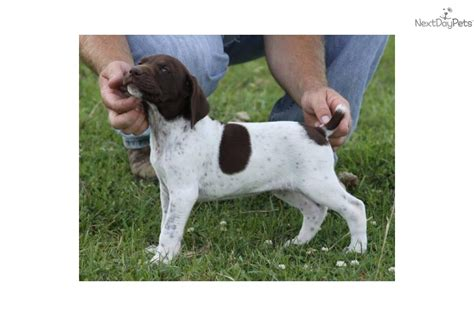 german shorthaired pointer puppies for sale in va shorthaired wallpaper