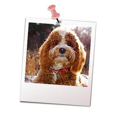 when should i start my puppy puppy development companions resortcompanions resort