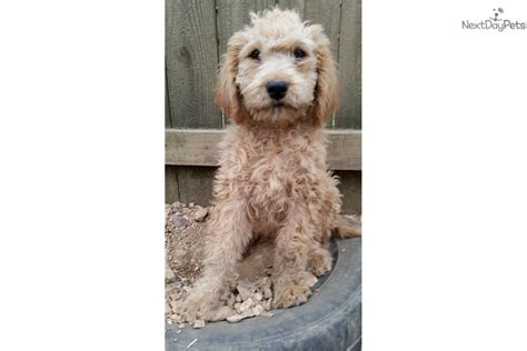 goldendoodle puppies for sale in tn boy goldendoodle puppy for sale near nashville
