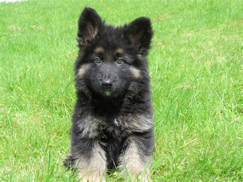 german shepherd puppies for sale german shepherd puppies for sale bridgend bridgend pets4homes