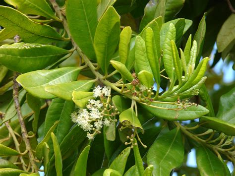 Tropical Tree Plants - pimenta dioica images useful tropical plants