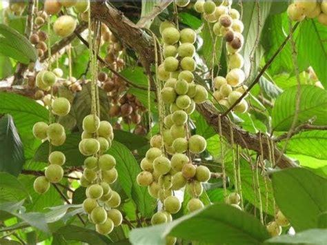 Bibit Buah Duku Palembang dhelta jual bibit buah duku palembang
