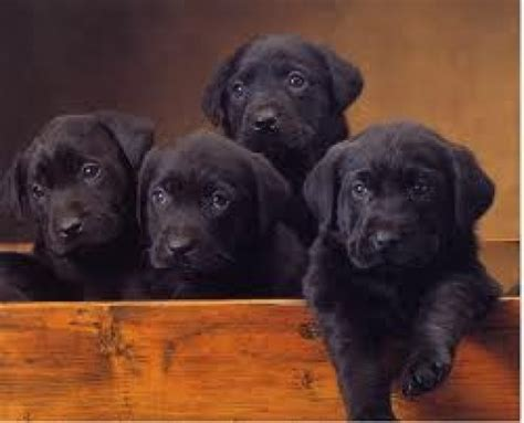 labrador puppies information the labrador retriever history facts and information pethelpful