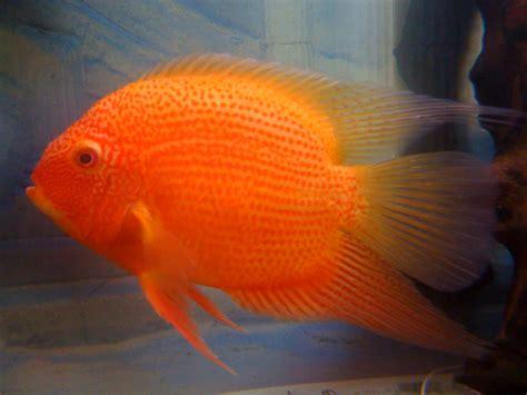breeding red severum cichlid cichlids com true red severum