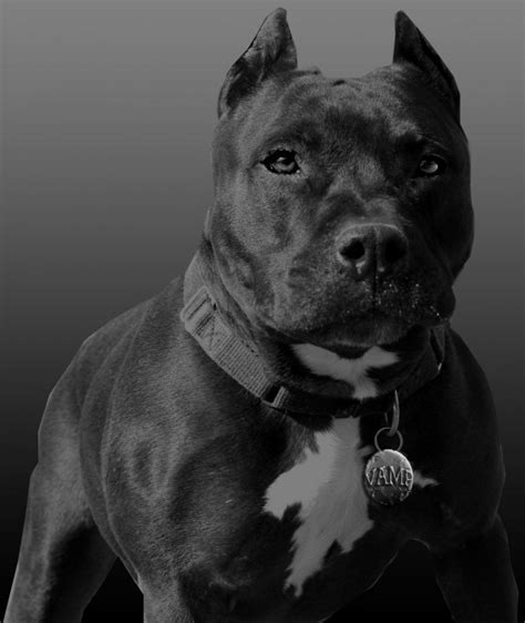 pitbull breed pitbull