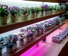 led lights for african violets miniature african violets morgan s drifter rose rob s