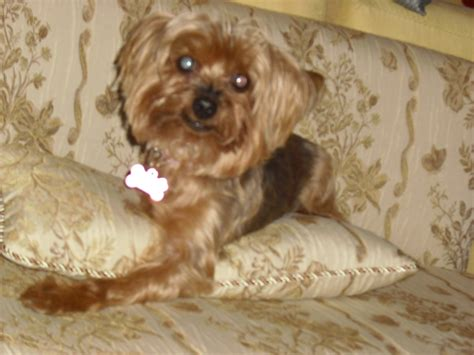 yorkie 911 rescue adoption information