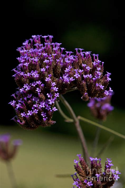 Small Purple by Small Purple Flowers On A Verbena Plant Photograph By