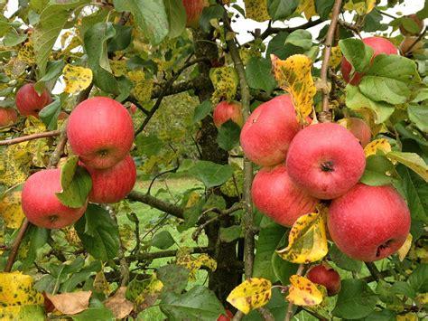 Bibit Pohon Strawberry Merah Cara Mudah Menanam Buah Apel Dari Biji Berbuah Lebat