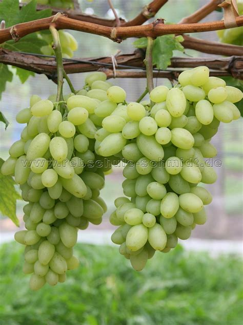 Table Grapes by Centennial Seedless Buy Grapevines For Your Garden Rebschule Schmidt