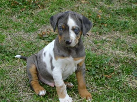 catahoula puppy for sale catahoula puppies for sale in breeds picture