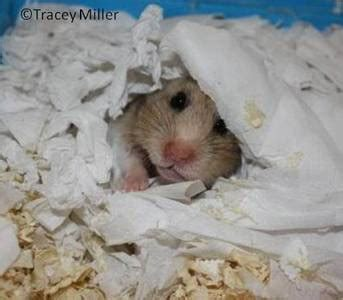 best bedding for hamsters syrian hamster care and keep of hamsters