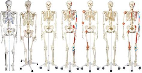 Beschriftung Skelett by Anatomie Skelett Test Skelettmodell Vergleich Mit