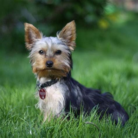 types of dogs types of terrier dogs