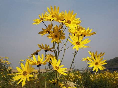 fiore topinambur fiori di topinambur e breve ricetta