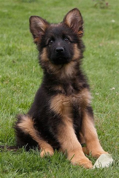 adorable german shepherd puppy puppy puppy beautiful to find out and german shepherd pups
